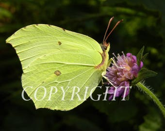 Lemon moth macro photo.