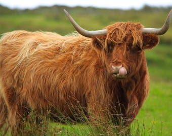 Highland Cow No.2 Greetings Card