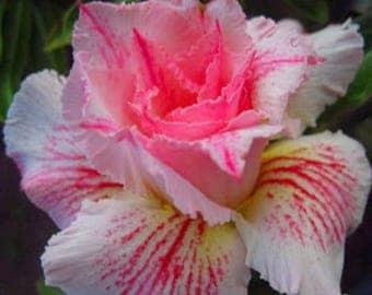"100% Real ADENIUM OBESUM DESERT rose ""Pinkpanter"" 5 Seeds / lot"