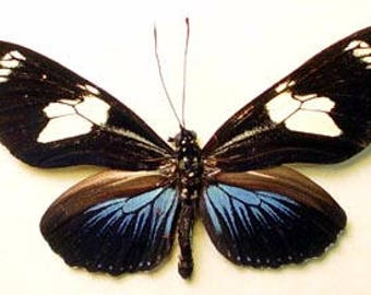 Real Framed Heliconius Doris Black & Blue The Doris Longwing Butterfly 477