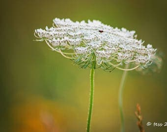 Queen Annes Lace Print  - Flower Photography Print - Wildflower Print - Wildflower Photography - Botanical - Shabby Chic