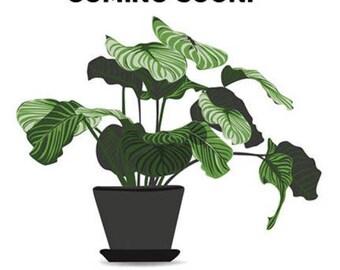 Sedum pachyphyllum / Jelly Bean