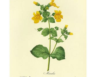 Redoute Print Yellow Mimulus, Monkey Flower SALE~~Buy 3, get 1 Free