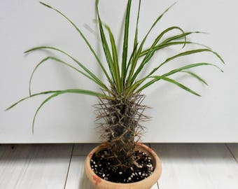 Pachypodium lamerei ~ Madagascar Palm  - Live Plant - Rooted
