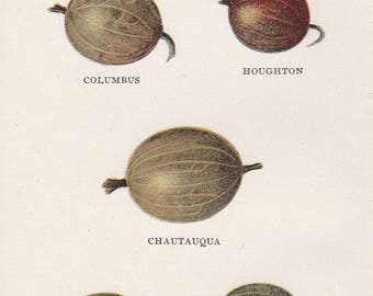 Antique Victorian Art Print-Book Plate-Lithograph- Gooseberries-Biggle Berry Book 1905
