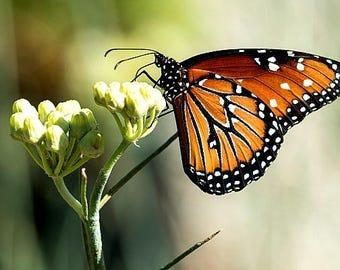 Asclepias vestita, Wooly Milkweed, 15 rare seeds, native milkweed, drought tolerant, birds nests, butterfly garden