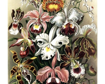 Ernst Haeckel's Vintage Artwork Orchidae