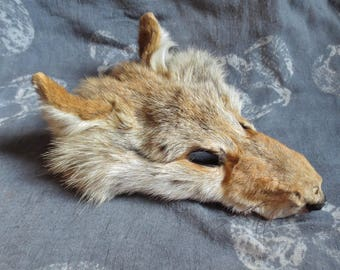 Coyote Taxidermy Fur Scrap, Coyote Pelt, Soft Tanned Face, Weird, Hunting, Oddity, Chupacabra Crafts