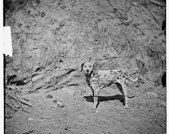 Virginia, Civil War Era, 1860's, Dalmatian Dog, General Rufus Ingall's Dog #2