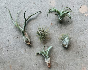 """Group of 5 Assorted Small Airplants 1""""-2"""""""