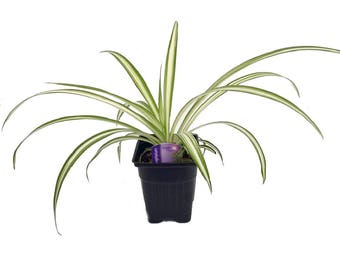 """Ocean Spider Plant - Easy to Grow - Cleans the Air - NEW - 3.5"""" Pot"""