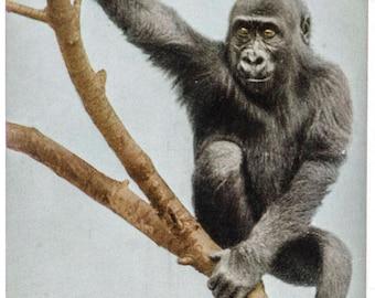 gorilla New York Zoological Park 1906 unused postcard