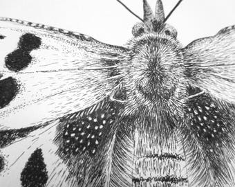"""Original A4 Pen & Ink Drawing of the Comma Butterfly, (polygonia c-album) in a 16""""x 12"""" mount with Certificate of Authenticity"""