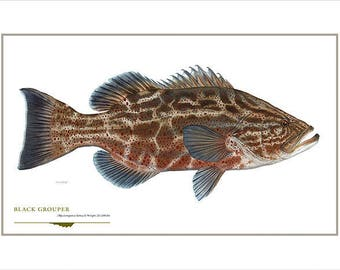 Black Grouper Open Edition Print by Flick Ford, Southern gamefish, Gulf Coast, Florida, natural history art, fish art, gamefish picture