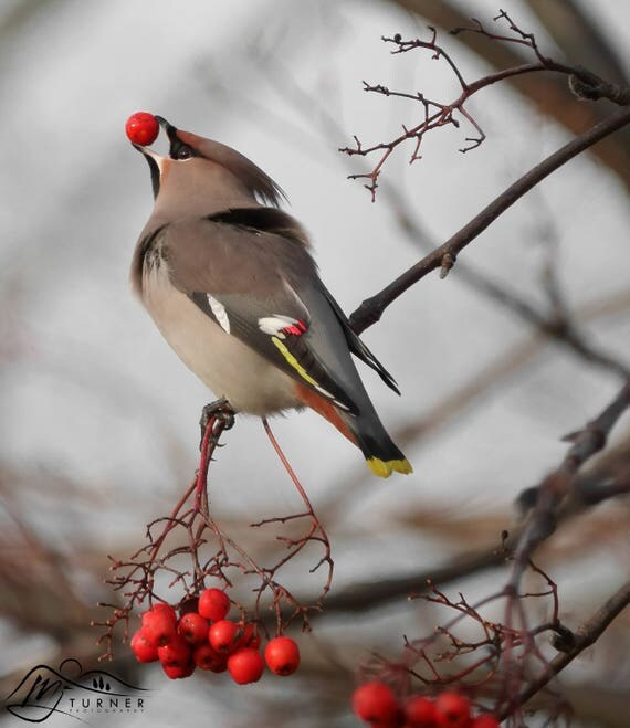 Waxwing [Photographic Print]
