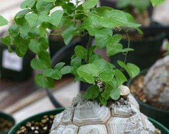 Dioscorea elephantipes / 5 seeds (Elephant's foot, Turtle back plant)