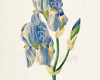 Dalmatian Iris Flower Art Print,Botanical Art Print,Flower Wall Art,Sweet Iris Flower Print,Floral Print,Redoute Art,blue green,Iris pallida