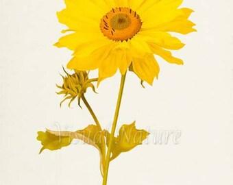 Manyflower Sunflower Flower Art Print, Botanical Art Print, Flower Wall Art, Flower Print, Floral Print, Home Decor, yellow