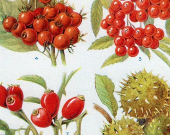 Set of Four Vintage Fruits Charts #2