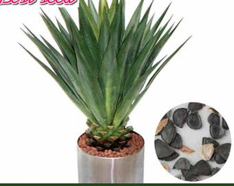 Agave Seed Succulent Flowering Perennial Plant 50 Pieces