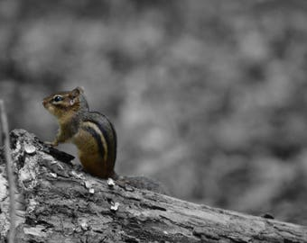 8 x 10 Little Chipmunk Print // Animals // Photography Print // Nature Photography // B&W Photography // Colorization