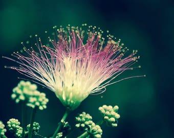 Pink Mimosa Flower