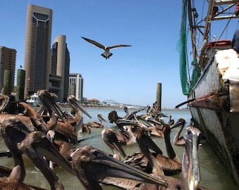 PELICANS AND SHRIMPER: Along The Corpus Christi Bayfront With Downtown In The Background.