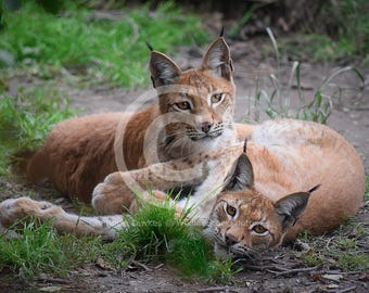 Eurasian Lynx Siblings Stock Photo