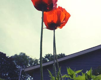 Red Orange Poppy Flowers During the Day Color Photo Nature FREE US SHIPPING
