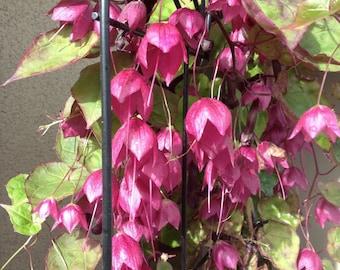 Purple Bell Vine Seeds (Rhodochiton atrosanguineus)