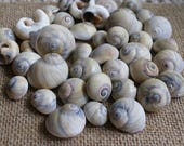 Sharks eye - moon snails -bulk seashells - seashell supplies