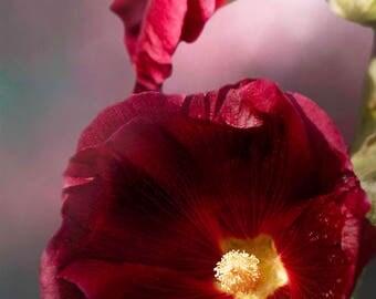 Burgundy Hollyhock, Flower, Floral, Photo, Garden, Nature Lover, Fine Art, Photography, Botanical, Flower Photography, Housewarming Gift