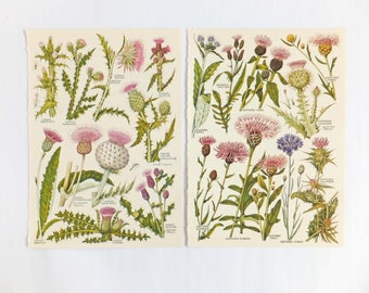 Thistles, Botanical Drawings, two vintage flower illustrations, old botanical prints of Thistles, Scottish