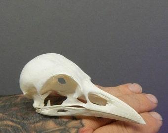 Taxidermy large real bone crow skull - Corvus corrone, Clean no smells