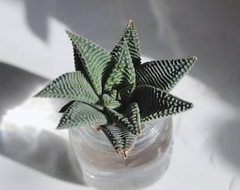 Haworthia Spider White Plant