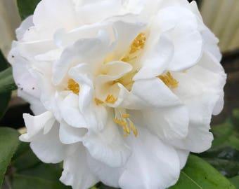 Camellia japonica 'Snowman,