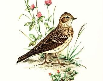 1969 skylark vintage bird illustration, lark Bird Print, Ornithology, Natural history, nature wall art
