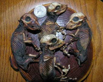"""The """"Fantastic Four"""" Mummified/ Preserved/ Dried Fetal Piglets"""
