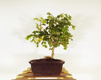 Bloodwood bonsai  in a dark brown pot.  A bloodwood tree makes a perfect bonsai with training and a little care.