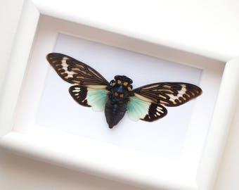 Framed cicada, Tosena splendida