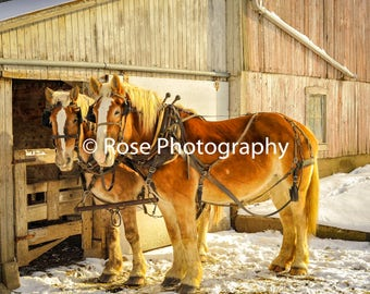 Beautiful Clydesdale horses gather by barn in winter. snow, winter, horses, clydesdales, farm, barn.
