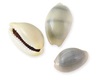 sale - 30% 15 shells 20 to 30mm coffee bean