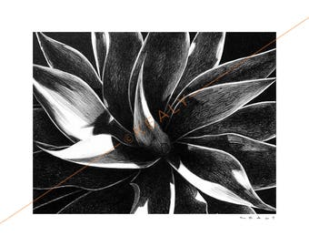 Century Plant Drawing Print – Black and White