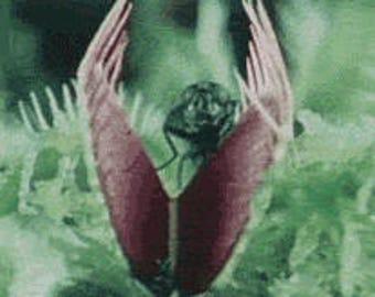 Venus fly trap catches eats Mosquitoes flies Slurperon Seeds 20 seeds pack
