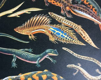 1968 Colourful Vintage Newt Print - Alpine, Smooth, Carpathian, Great-Crested, Banded - matted and ready to frame - 14 x 11 inches