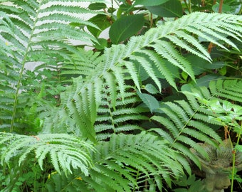 Ostrich Fern (Matteuccia Struthiopteris) - live plants - perennial plants - live fern - shade plants - woodland plant - woodland  perennials
