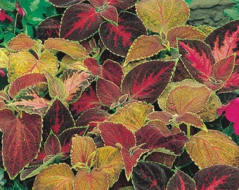 Coleus Flame Dancers Growing Kit