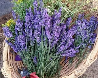 Lavender Bunches Dried Royal Velvet Bright Purple