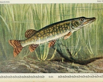 fishes-01177 - Northern Pike Esox lucius fresh water fish in seaweeds underwater printable image high resolution Heinrich Harder picture jpg