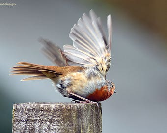 Robin taking flight, british birds, nature
